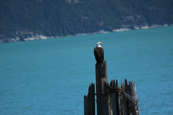 A Bald Eagle perched on some old pylons