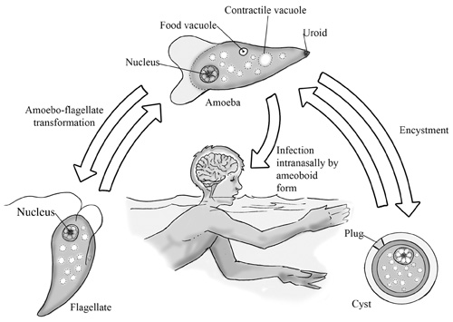 brain-eating-amoeba